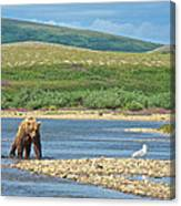Grizzly Bear Stalking A Gull In The Moraine River In Katmai National Preserve-alaska Canvas Print