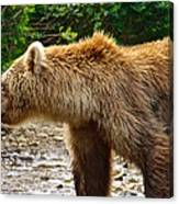 Grizzly Bear Very Close In Moraine River In Katmai National Preserve-ak Canvas Print