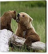 Grizzly Bear With Cub Playing Canvas Print