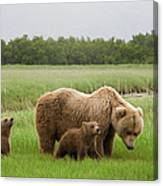 Grizzly Bear With Spring Cubs Canvas Print