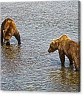 Grizzly Bears Looking For Salmon In Moraine River In Katmai Np-ak Canvas Print