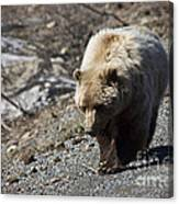 Grizzly By The Road Canvas Print