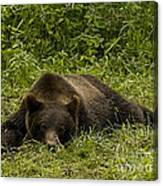 Grizzly Cub  #0863 Canvas Print