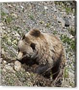 Grizzly Digging Canvas Print