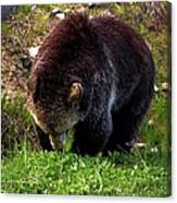 Grizzly Grazing Canvas Print