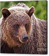 Grizzly Portrait Canvas Print