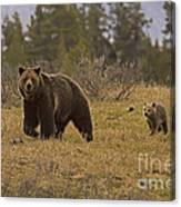 Grizzly Sow And Cub  #6382 Canvas Print