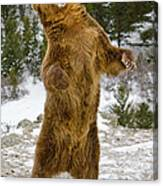 Grizzly Standing Canvas Print