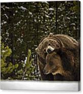 Grizzly's Courting Canvas Print