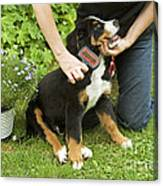 Grooming Bernese Mountain Puppy Canvas Print