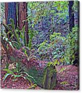 Ground Level Landscape In Armstrong Redwoods State Preserve Near Guerneville-ca Canvas Print