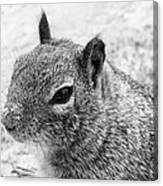 Ground Squirrel With Sandy Nose Canvas Print