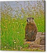 Groundhog At Point Amour In Labrador Canvas Print