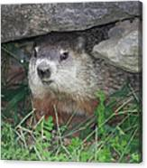Groundhog Hiding In His Cave Canvas Print