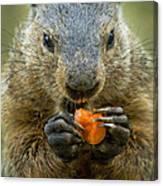 Groundhogs Favorite Snack Canvas Print