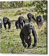 group of Common Chimpanzees running Canvas Print