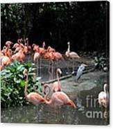 Group Of Flamingos And Lone Heron In Water Canvas Print