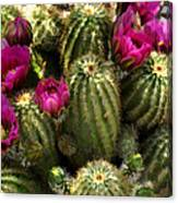 Grouping Of Cactus With Pink Flowers Canvas Print