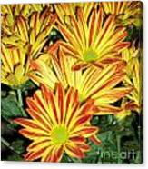 Grouping Of Gerbera Canvas Print