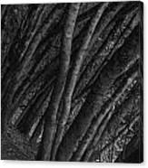 Grove Of Trees In Muir Woods Canvas Print