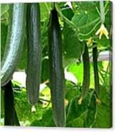 Growing Cucumbers Canvas Print