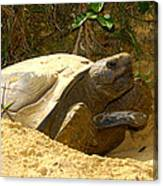 Florida Gopher Tortoise And Home Canvas Print