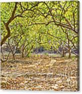 Guava Garden In Autumn Canvas Print