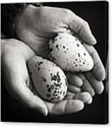Guillemot Eggs Black And White Canvas Print
