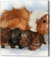 Guinea Pig Family Canvas Print