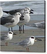 Gulls And Terns Canvas Print