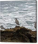Gulls Podium  Canvas Print