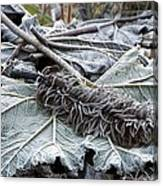Gunnera Sp Canvas Print