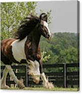 Gypsy Vanner Horse Running, Crestwood Canvas Print