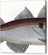 Haddock Canvas Print