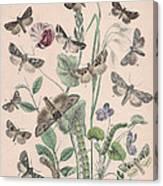 Hadenidae - Xylinidae Canvas Print