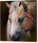 Haflinger Foal Friends Canvas Print