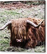Hairy Cow Canvas Print