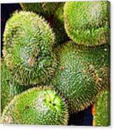 Hairy Peary Chayote Squash By Diana Sainz Canvas Print