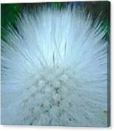 Hairy Plant Canvas Print