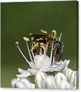 Halicid Bee Amongst The Anthers Canvas Print