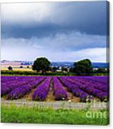 Hampshire Lavender Field Canvas Print