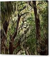 Hanging Moss And Giant Oaks Canvas Print