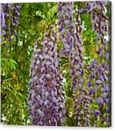 Hanging Wisteria Blossoms Canvas Print