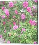 Hansa Roses Canvas Print