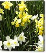 Happy Daffodils  Canvas Print