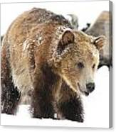 Happy Grizzly Bear Canvas Print