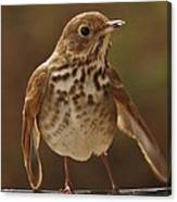 Happy Hermit Thrush Canvas Print