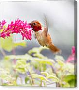 Happy Hummer Canvas Print