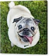 Happy Pug Dog Looks Up At Camera Canvas Print