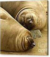 Happy Seals Canvas Print
